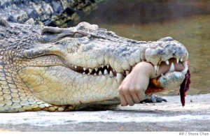 Crocodile Attack Singapore Picture on For Temperature Regulation Because As You Know Crocodiles Are Cold